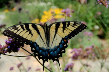TigerSwallowtail