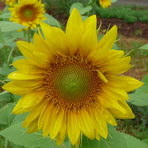 Sunflower focus small