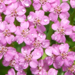 Yarrow, Pink focus small